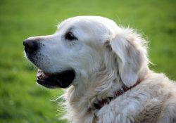 Specialiseret hundefoder af høj kvalitet fra Royal Canin